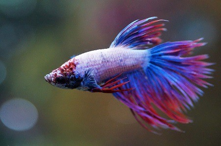How do you know if your betta fish is dying