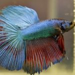 How Long Can Betta Fish Live Without Food?