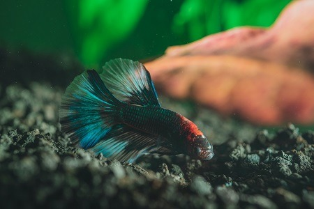 happy betta fish