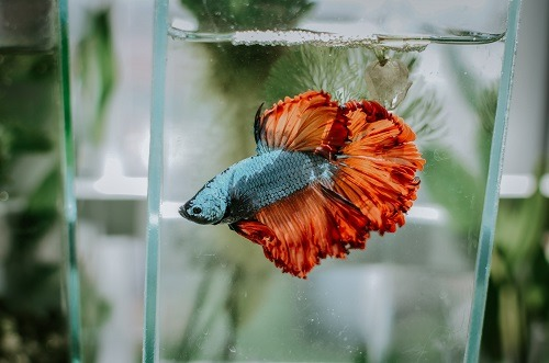 play with betta fish