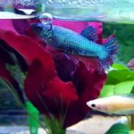 Can You Put A Male And Female Betta Fish Together?
