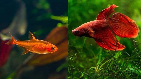 Ember Tetra and betta fish