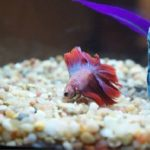 What is the Best Tank Size for Betta Fish?