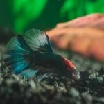 Betta Fish Laying at Bottom of Tank? Find out Why!
