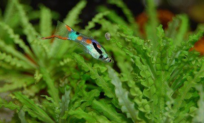 Can Betta fish live with Guppies