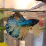 Do Betta Fish Get Lonely? Here You Go!