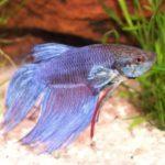 How Long Do Betta Fish Live? Average Lifespan Of Betta Fish!