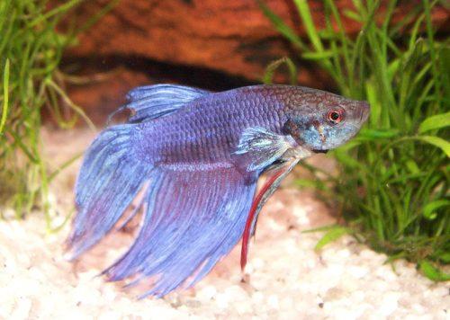 How Long Do Betta Fish Live