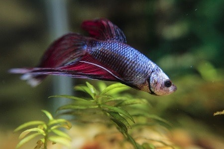 Swim Bladder Disease in Betta Fish