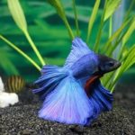 Why Do Betta Fish Fight? Let's Find Out!