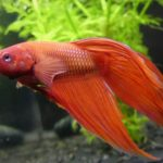 The Ultimate Betta Fish Food and Feeding Guide