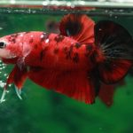 How To Take Care Of Betta Fish While On Vacation?