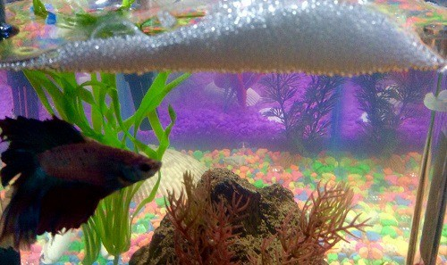 why do betta fish make bubble nests
