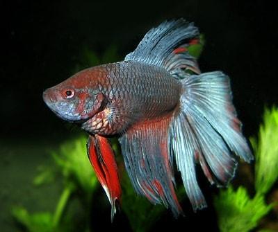 betta fish bloated treatment