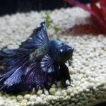 Dropsy in Betta Fish : Symptoms, Causes, Treatment and Prevention