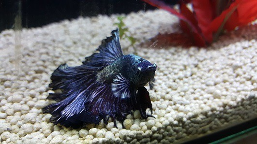 dropsy in betta fish symptoms causes treatment