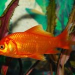 How Long Can Goldfish Live Without Food?