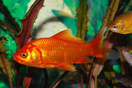 How Long Can Goldfish Live Without Food