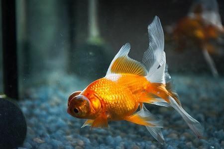 do goldfish need a heater