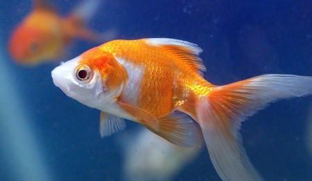 how big do goldfish grow