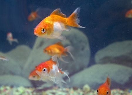 how often should you feed a goldfish