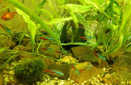 how to get rid of algae in fish tank naturally