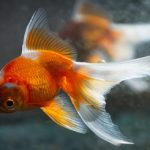 How to Tell If Your Goldfish is Male or Female?