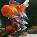 What Fish Can Live With Goldfish?