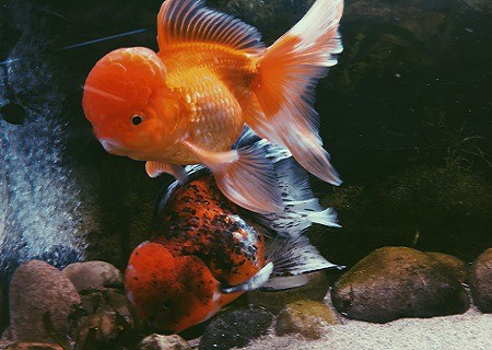 what fish can live with goldfish