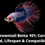Crowntail Betta Care, Food, Lifespan & Compatibility