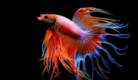 crowntail betta history