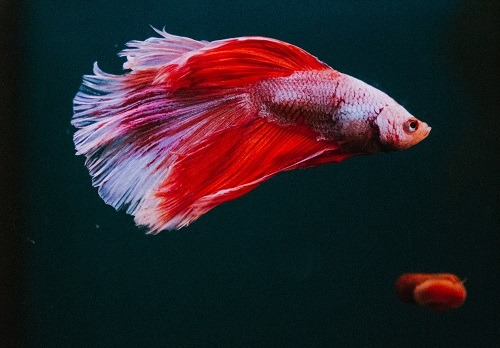 Can You Put A Male And Female Betta Fish Together
