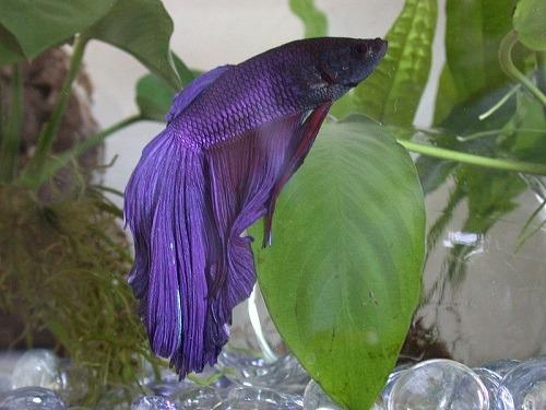 betta fish huge fin