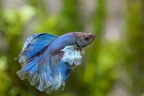 unhealthy betta fish